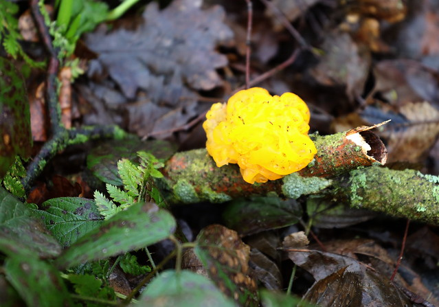 Yellow Brain Fungus(Tremella mesenterica)