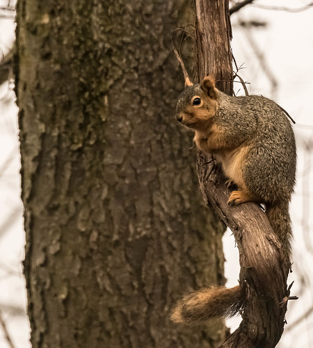 Fox Squirrel . . .
