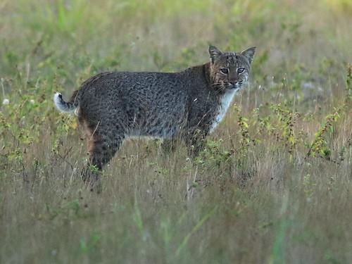 Bobcat 02-20200213