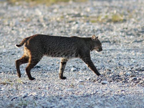 Bobcat 04-20200213