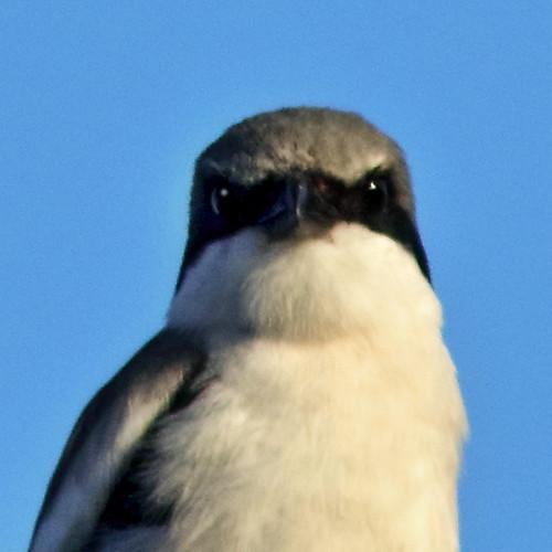 Loggerhead Shrike 02-20200213