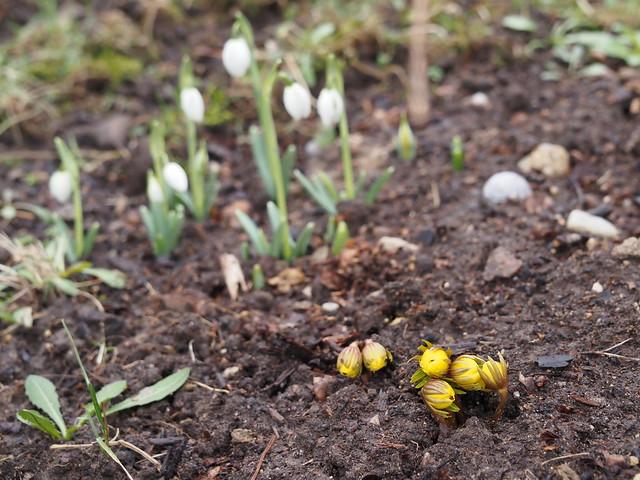 Eranthis cilisica & Galanthus cv.