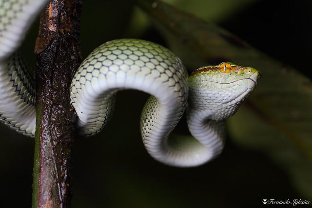 Tropidolaemus subannulatus, male