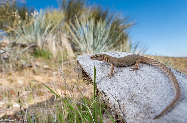 Yucca Night Lizard (Xantusia vigilis) Explored.