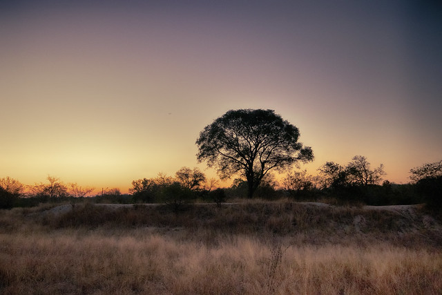 Late african sunset, tree and grasses. Elephant Plains Game Lodge, Sabi Sands Game Reserve, Kruger National Park, South Africa.