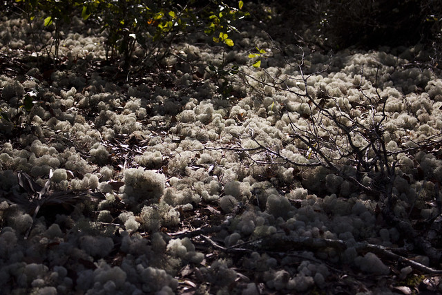 Deer Moss Cladonia evansii