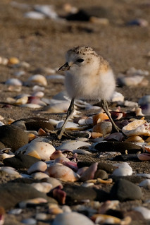 Young New Zealand dotterel (plover) out adventuring - Charadrius obscurus | by Maureen Pierre