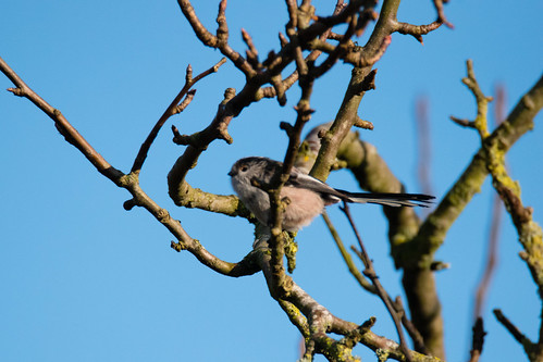 Queueing for the feeders: long-tailed tits