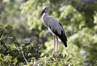 Asian Openbill Stork at Bishan-Ang Mo Kio Park Singapore , 14 February 2020.  Canon 60D/EF 70-300mm f4-5.6L IS USM.