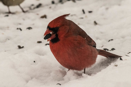 Cardinal near the bird feeder