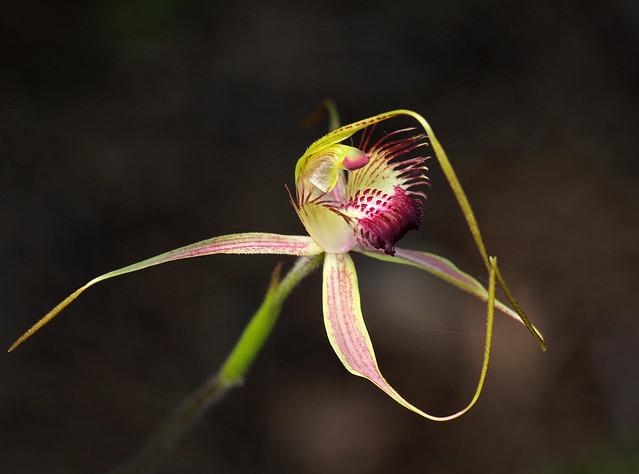 Karri Spider Orchid
