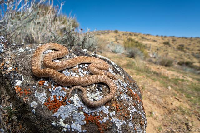 California Nightsnake (Hypsiglena torquata nuchalata)