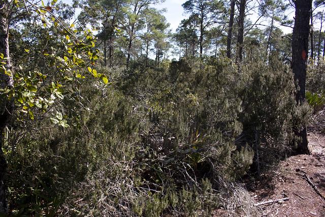 Sand Heath Ceratiola ericoides