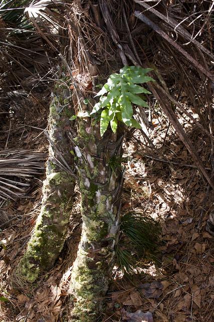 Golden Polypody Phlebodium aureum