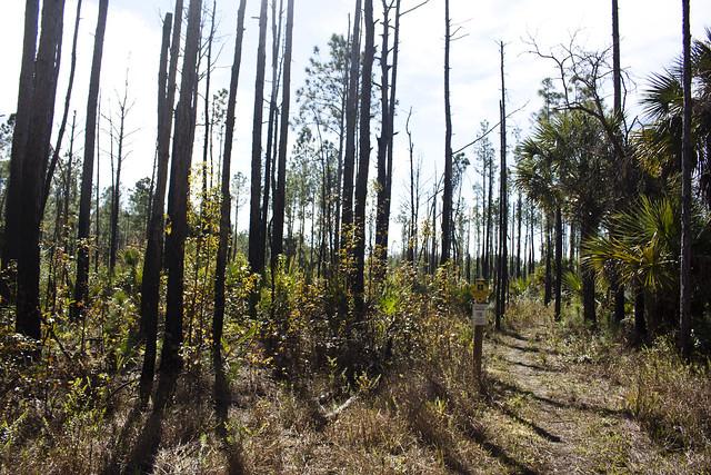 Pine scrub Forest, Florida Trail