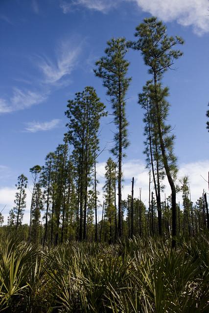 Pond Pine Pinus serotina