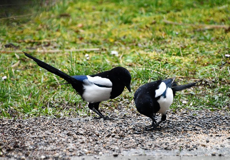Magpies 13.02.2020  (11)