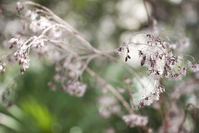 Vanillaleaf Carphephorus odoratissimus