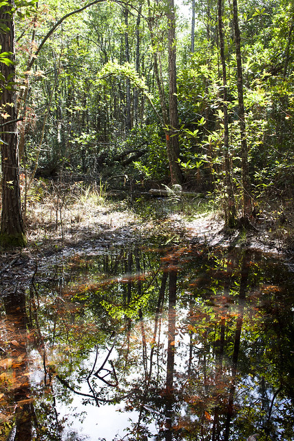 Forested Wetland, Florida Trail