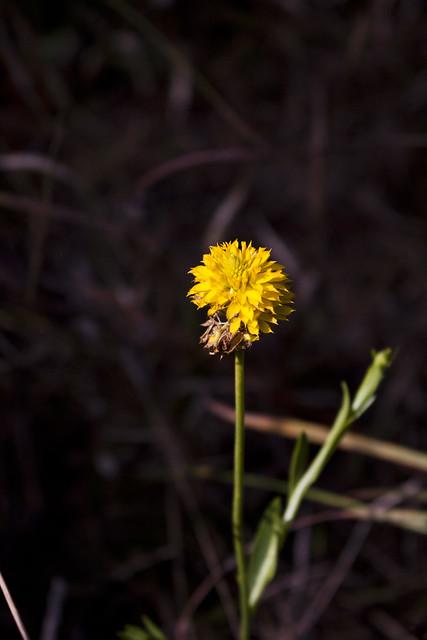 Yellow Milkwort Polygala rugelii