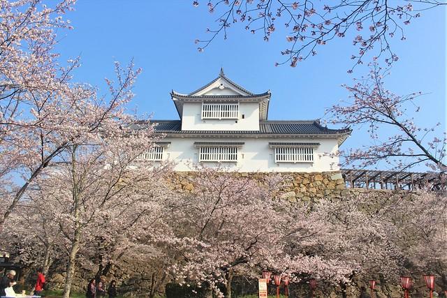 tsuyamajo-sakura044