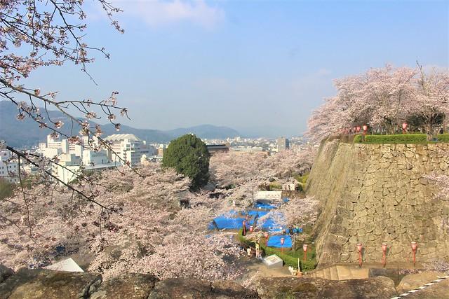 tsuyamajo-sakura041