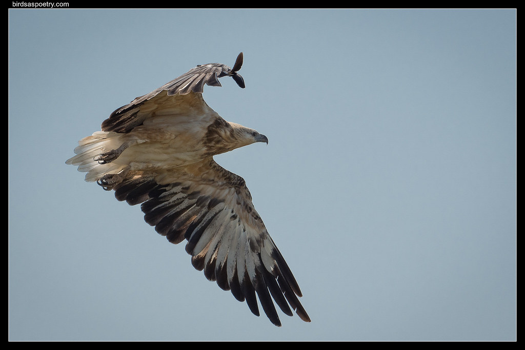 White-bellied Sea Eagle: Juvenile