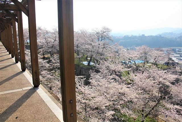 tsuyamajo-sakura049