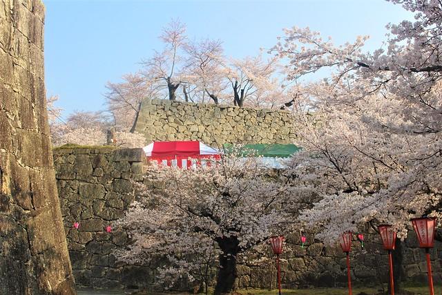 tsuyamajo-sakura033