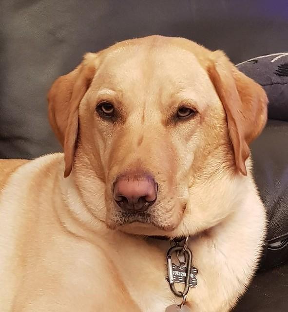 698. Golden Labrador
