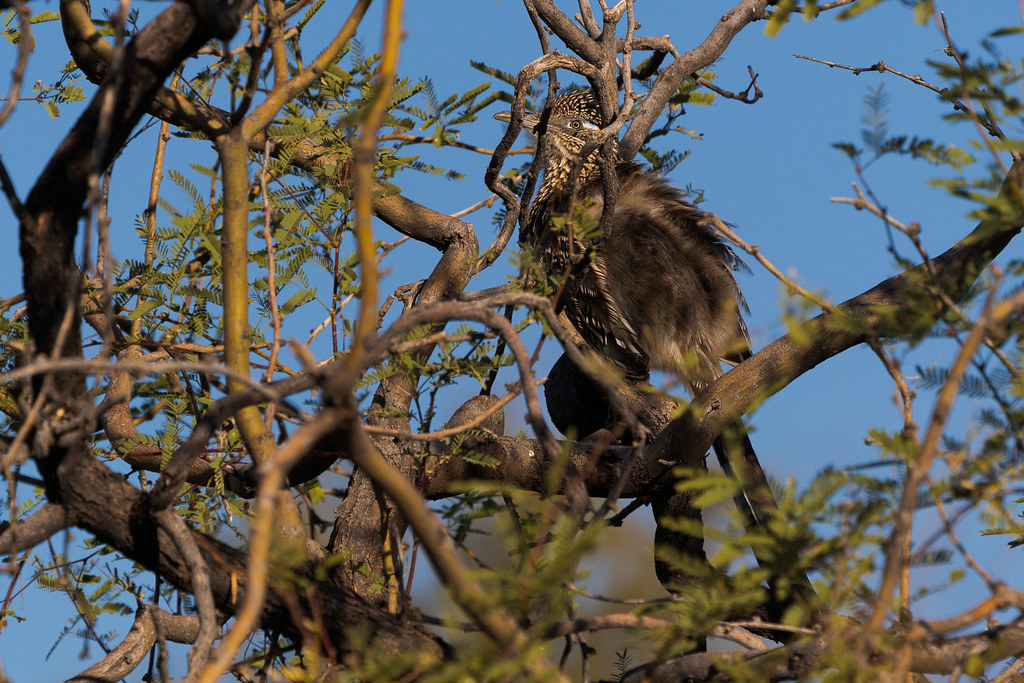 A greater roadrunner is partially obscured as it perches in a tree in the Troon area of Scottsdale, Arizona in January 2020