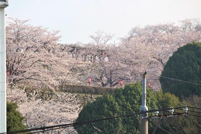 tsuyamajo-sakura026