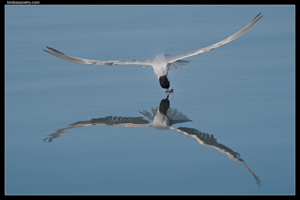 Whiskered Tern: Moment of Impact
