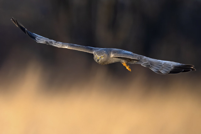 Male Northern Harrier aka Gray Ghost