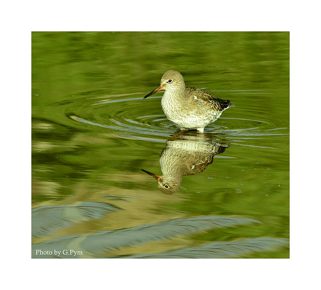 Redshank reflection