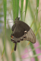 Green-banded Peacock Butterfly-Papilio palinurus
