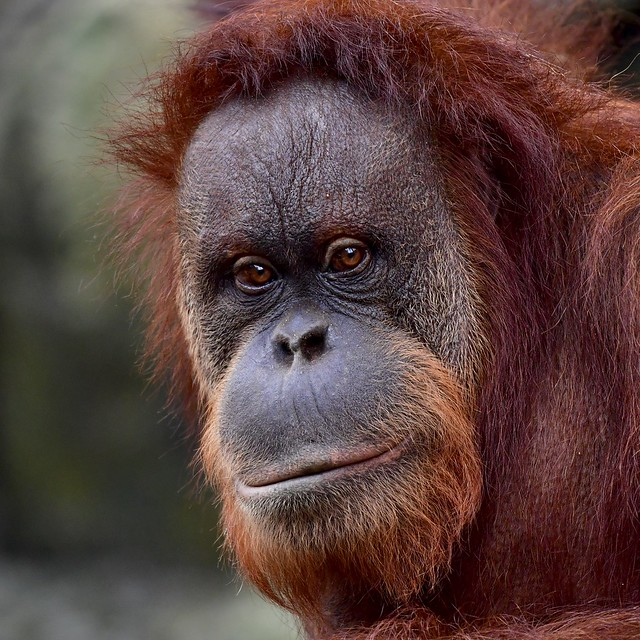 Sumatra Orang-Utan