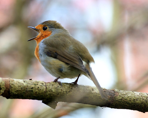 Robin (threejumps)