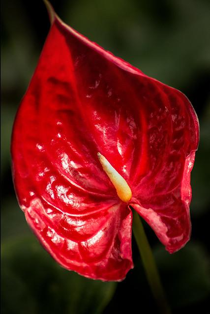 Anthurium Red 3-0 F LR 1-30-20 J296