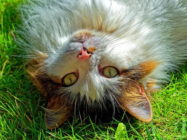 Cute ( Tilly the 3-legged cat) Olympus OM-D EM1.2 & M.Zuiko 40-150mm f2.8 Telephoto