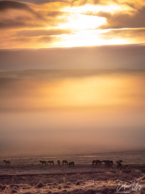 Wild horses, Iceland