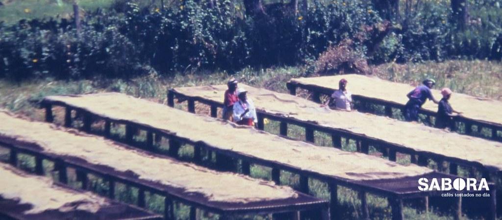 Café de Kenia secando en camas del café lavado