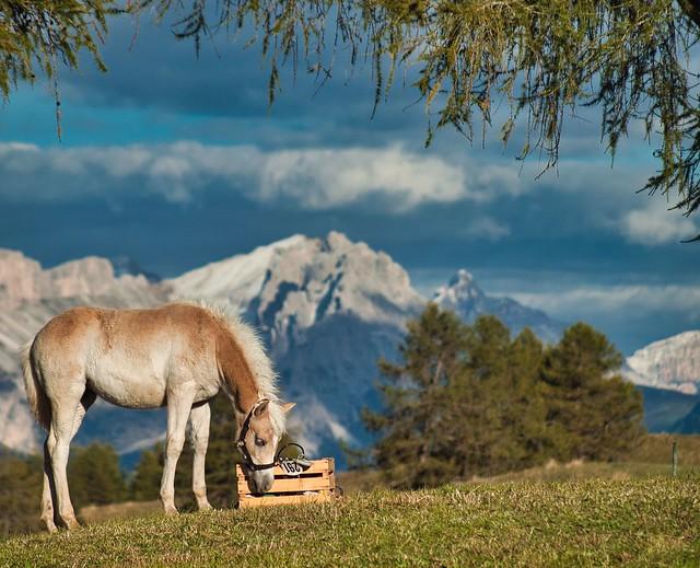 Horse With No Name - Seiser Alm - Dolomites UNESCO