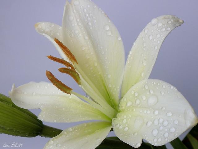 Lily Elegance