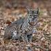 A Bobcat Sitting In Fallen Black Oak Leaves During Winter