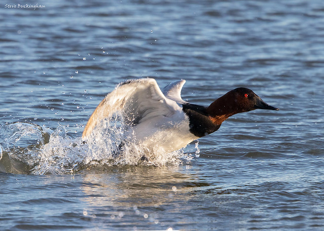 Canvasback liftoff