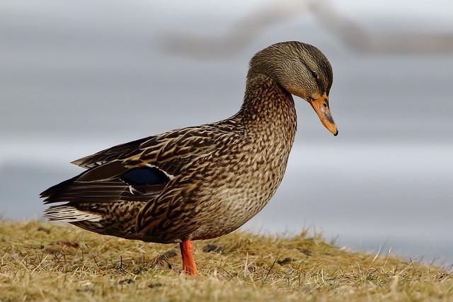 Mallard Duck  (Hen)