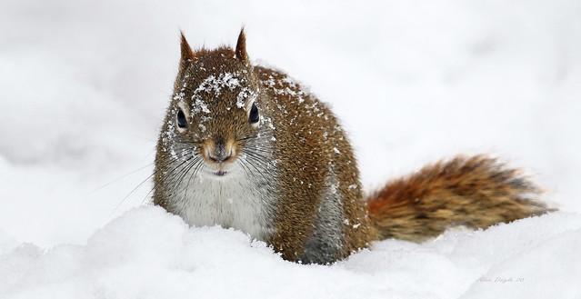 Écureuil roux \ Red squirrel