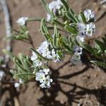 aDSC_1693 Heliotropium sp. ヘリオトロープ sp.