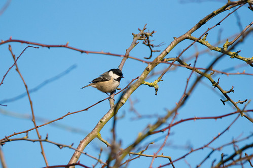 Queueing for the feeders: lone coal tit